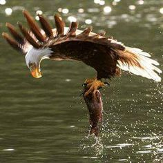Amazing shot of Bald Eagle catching its prey ❤️ Birds Of Prey, All Birds, Pretty Birds, Beautiful Birds, Animals Beautiful, Aigle Animal, Eagle Pictures, Photo Animaliere, Tier Fotos