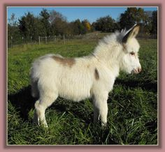 Little Miracles Bubba Bling, spotted miniature donkey for sale