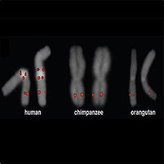 Whereas chimps and orangutans have only one, humans have multiple copies of the gene SRGAP2 which is believed to be involved in the development of the brain.