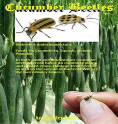 There are two primary types and six species of cucumber beetle in North America. Perhaps the most prolific and widespread is the striped cucumber beetle. Diy Pest Control, Weed Control, Companion Gardening, Gardening Tips, Fall Plants, Cactus Plants, Organic Insecticide, Organic Pesticides, Cucumber Beetles
