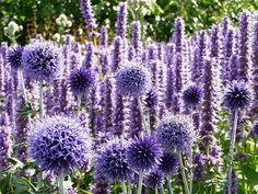 Globe Thistles | 22 Insanely Cool Conversation-Piece Plants For Your Garden