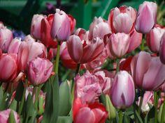Pink Tulipes#Monet'sGarden#Giverny#April2012