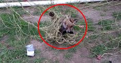 This Baby Fox Was In Deep Trouble, Until A Helpful Man Showed Up To Free Him.