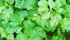 A cool-weather crop, cilantro can be quite plentiful if you know when to plant it.