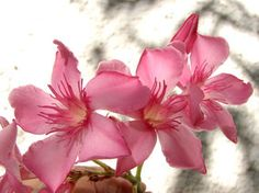OLEANDER HAUS  Nerium Oleander Gotsis Asteria Rose Bay, Nerium, Sweet, Plants, House, Plant, Planting, Planets