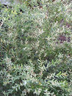 Growing The Home Garden: Japanese Dappled Willow (Salix integra) Revisited