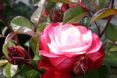 Rose 'Nostalgie'