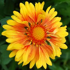 the Goblin blanket flower is perfect for the summer garden