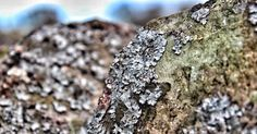 Lichen - - - #uk #view #spring #urban #nature #natural #yorkshire #macro #landscape #canon #camera #photo #photography #nofilter #perspective #photooftheday #picoftheday #igdaily #instagood #instadaily #instalike #pretty #beautiful #like4like #like #sun #countryside #wildlife #travel #wanderlust