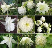 varieties of white columbine plant (aquilegias)