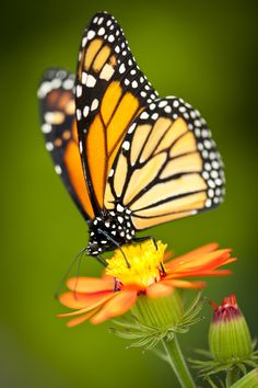 Macro photo of a butterfly resting on a flower. - Macro photo of a butterfly resting on a flower. Butterfly Spirit Animal, Butterfly On Flower, Butterfly Pictures, Butterfly Painting, Butterfly Wallpaper, Butterfly Kisses, Monarch Butterfly, Butterfly Wings, Butterfly Costume
