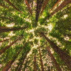 Deep among the redwoods in the Otways Great Ocean Road - by @nature_explorer #regram ... #greatoceanroad #otways @melbourne @visitgreatoceanroad @greatoceanroad by austtraveller