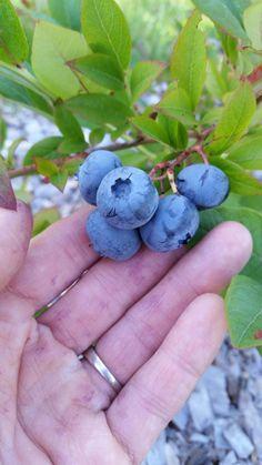 Highbush Blueberry, Fruit, Food, Essen, Meals, Yemek, Eten