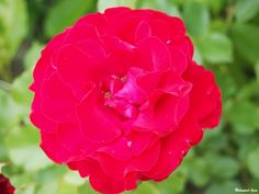 Red Rose 124 by Mohammad Azam