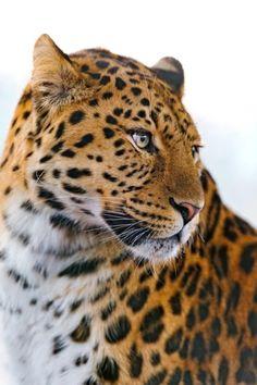 "bigcatkingdom: ""Leopard looking on the side (by Tambako the Jaguar) "" Nature Animals, Animals And Pets, Cute Animals, Animal Gato, Mundo Animal, Big Cats, Cool Cats, Beautiful Cats, Animals Beautiful"