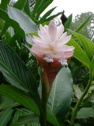 Alpinia 'Jungle Queen'