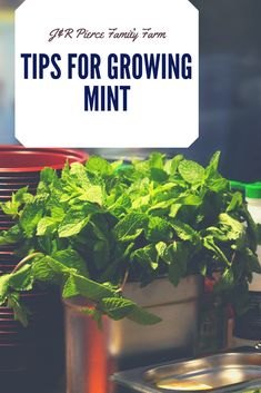 it - wait for it - mint to be? If so, you need to consider growing mint in your backyard garden! This flavorful and aromatic herb has a variety of culinary and medicinal applications. Plus, it's super easy to grow! Here's the advice you need to hear. Aquaponics Fish, Aquaponics System, Hydroponics, Growing Mint, Growing Herbs, Container Gardening Vegetables, Vegetable Gardening, Aromatic Herbs, Raised Garden Beds
