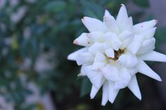 Flower blooms. Beautiful.  #WhiteFlower