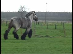 """Belgian Draft Horse. He's so chunky!!! What a cutie pie, I love his expression as he's trotting around. Poor pony has no tail though - as I was watching, I thought, """"I'll bet he'd be even prettier if it were allowed to grow out."""" Imagine a big tail swishing along with those big feathered feet! @Tamara Hamill @Donna Larson"""