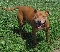 URGENT!!! PLEASE HELP JOHNNY!!! RESCUE/ADOPT ASAP! PLEASE REPIN!!!! Johnny the Elder Bull****SPONSORED***** is an adoptable Pit Bull Terrier Dog in Lisbon, OH. Hi there. I am Johnny the Elder Bull! I am about 6 years old and I weigh about 50 lbs. I was picked up by th...