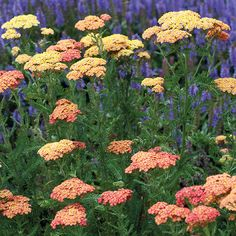Achillea Collection ONLY from Mr Fothergill's Seeds and Plants. 3 potted plants, 1 of each. Herbaceous Perennials, Planting Flowers, Plants, Achillea, Hardy Perennials, Perennials, Garden Inspiration, Trees To Plant, Perennial Garden