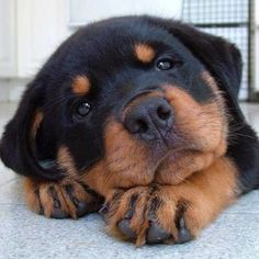 Cute Puppy In a Relaxed Posture