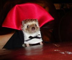Funny pictures about Vampire hedgehog. Oh, and cool pics about Vampire hedgehog. Also, Vampire hedgehog photos. Chien Halloween, Halloween Mignon, Halloween Vampire, Happy Halloween, Vampire Costumes, Pet Halloween Costumes, Pet Costumes, Costume Ideas, Funniest Costumes