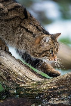 Cat, kitty, hunter, intense, concentrated, focused, pet, cute, nuttet, beauty, photograph, photo