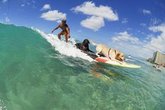 Surfing Dogs by Ohana Beach Rentals Hawaii