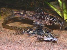 Banded Corydoras or Bearded Catfish - Scleromystax Barbatus
