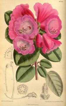 Rhododendron callimorphum callimorphum - Botanical Illustration