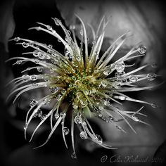 Artistic Licence (Explored) | #macro #flower #drops #green #gold #grey