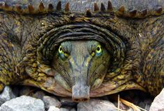 Spiny Softshell face...  Looks more like a creature that hung out at the bar in the movie Star Wars... Does it not?