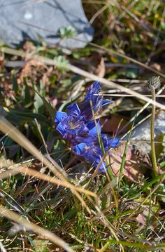 Gentiana, mountains