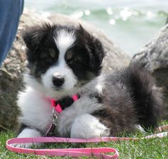 Google Image Result for http://0.tqn.com/d/dogs/1/0/W/8/-/-/aussie-lucy-HollySouthcott.JPG