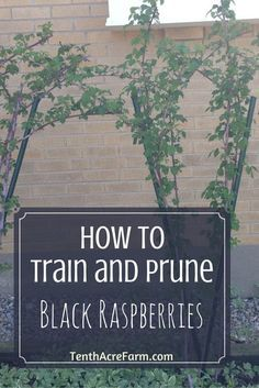 Black raspberries can be a delicious and productive crop for the small landscape. Learn how to train and prune black raspberries for the best harvest.