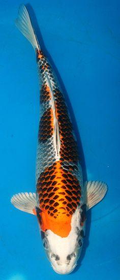 "17"" Kujaku Kleinholz Koi Farm High Quality Live Koi Fish | eBay"