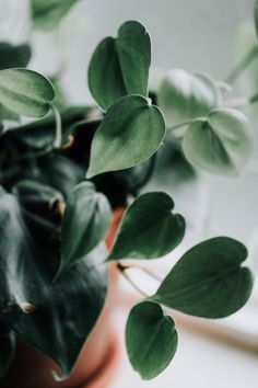 Heartleaf Philodendron: simple, stunning, and so very easy to care for Ficus Elastica, Calathea, Hanging Plants, Indoor Plants, Indoor Succulents, Indoor Flowers, House Plants For Sale, Exotic House Plants, Vegetable Gardening