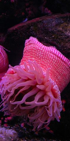 Pink anenome, pink 'material-looking band at top and pink tendrils from below.