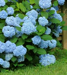 These always remind me of my grandmother Grace. She loved her garden and I can remember her standing in a floral dress with a pinny on, showing me her Blue Hydrangea. Happy memories. ❤