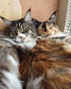 When it comes to Maine Coon Vs Norwegian Forest Cat both can make good pets but have some traits and characteristics that are different from each other Cute Cat Gif, Cute Cats, Funny Cats, Maine Coon Kittens, Cats And Kittens, Baby Animals, Cute Animals, Funny Cat Compilation, Beautiful Kittens