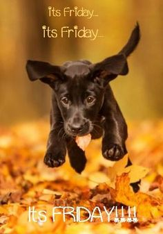 Happy Friday! ❤️ I think I will always have a soft spot for black lab puppies... They just are the cutest!!!: