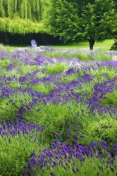 ~~The Color of Purple | Lavender farm, Sequim, Washington State | by Eggers Photography~~