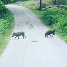 I'm really happy I was able to get these little guys on camera when they were crossing the road. #sweden #swedishhunting #jakt #hunt #vildsvin #boar #wildboar #hog #deer #moose #rådjur #älg #food #sverige #stalon #browning #xbolt #aimpoint #308win #burris