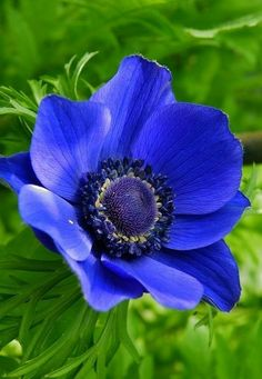 Botanical Flowers, Exotic Flowers, Amazing Flowers, Blue Flowers, Anemone Flower, Unique Trees, California Poppy, Blue Garden, Sugar Flowers