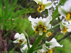 Alaris Chloraea    Orquídea chilena by Benito.Rosende