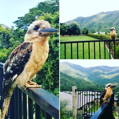 This handsom Kookaburra allowed me to get close up! He loves Redlynch Valley Estate here in Cairns Great Barrier Reef Australia. You'd love it live here too! Ask us how you could live learn and work in paradise!  #Cairns #GreatBarrierReef #kookaburra #wild #wildlife #redlynch #redlynchvalley #green #brown #bird #nature #awesome #cairnslife #laugh #picoftheday by anuepropertygroup http://ift.tt/1UokkV2