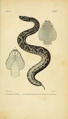 Erpétologie générale, ou, Histoire naturelle complète des reptiles   Paris :Roret,1834-1854.          — with Gayan Chathuranga.