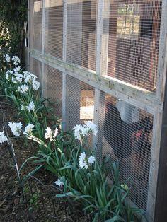 Narcissus Bulbs Blooming Alongside Chicken Coop deters gophers