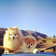 boo et buddy deux chiens mignons peluches vivantes 15   Boo et Buddy   web star spitz pomeranien photo peluche nain loulou de Pomeranie imag...